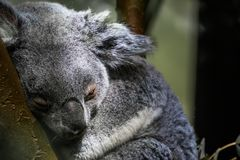 Queensland koala bear sleeping in a tree, closeup portrait of a koala, vulnerable marsupial specie from Australia. A queensland koala bear sleeping in a tree royalty free stock images