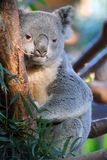 Queensland-Koala (Phascolarctos cinereus adustus) Stockbild
