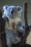 Queensland koala (Phascolarctos cinereus adustus). Stock Image