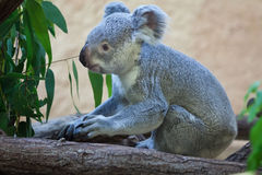 Queensland koala (Phascolarctos cinereus adustus). Royalty Free Stock Photos