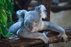 Queensland koala (Phascolarctos cinereus adustus). Royalty Free Stock Photography