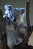 Queensland koala (Phascolarctos cinereus adustus). Royalty Free Stock Photos