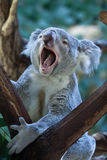 Queensland koala (Phascolarctos cinereus adustus). Wild life animal royalty free stock images