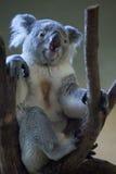 Queensland koala Phascolarctos cinereus adustus. Stock Images