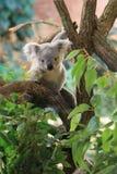 Queensland koala Stock Photos