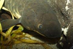 Queensland Lungfish - Neoceratodus fosteri Stock Images