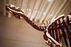 Queensland Museum Dinosaur skeleton display Royalty Free Stock Photos