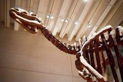 Queensland Museum Dinosaur skeleton display Royalty Free Stock Photos