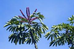 Queensland-Regenschirmbaum im Boom Lizenzfreies Stockfoto