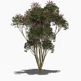 Queensland Schefflera actinophylla (summer). 3D computer rendered illustration Queensland Schefflera actinophylla summer Royalty Free Stock Photos