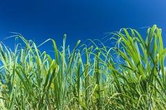 Queensland Sugar Cane Imagens de Stock