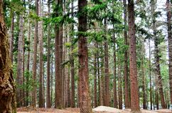 Queenstown Douglas Fir Pine Forest Photo stock
