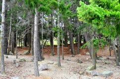 Queenstown Douglas Fir Pine Forest photos libres de droits