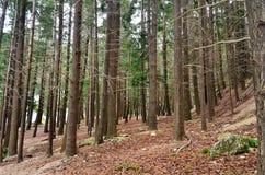 Queenstown Douglas Fir Pine Forest. Douglas Fir pine tree forest in Queenstown Botanical Gardens, Lake Wakatipu, Queenstown, New Zealand Royalty Free Stock Image