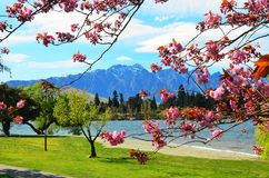Queenstown New Zealand. Cherry blossom trees in spring flower with Remarkables Mountains backdrop, Lake Wakatipu, Queenstown, Southern Alps, New Zealand Stock Photo