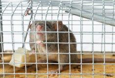 Queijo livre em uma ratoeira Fotografia de Stock Royalty Free