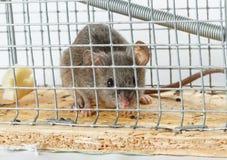 Queijo livre em uma ratoeira Foto de Stock Royalty Free