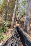 Queimadura e árvore quebrada que encontram-se com opinião da floresta foto de stock