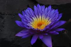 Quel lis : Ultra-violet, jaune et noir images stock
