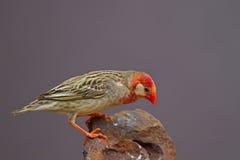 Κόκκινος-τιμολογημένο Quelea που σκαρφαλώνει στο βράχο (άσπρη μάσκα)  Στοκ φωτογραφία με δικαίωμα ελεύθερης χρήσης