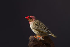 Κόκκινος-τιμολογημένο Quelea που σκαρφαλώνει στο βράχο Στοκ εικόνα με δικαίωμα ελεύθερης χρήσης