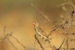 Quelea faturado vermelho - fundo selvagem africano do pássaro - tons da cor da natureza Foto de Stock Royalty Free