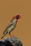 Quelea Rojo-cargado en cuenta encaramado en roca Fotografía de archivo