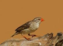 Quelea Rouge-affiché par femelle non reproductrice Images libres de droits