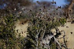 queleas Rouge-affichés, Etosha, Namibie Photographie stock libre de droits