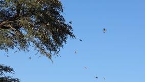 queleas Rouge-affichés volant d'une branche d'arbre clips vidéos