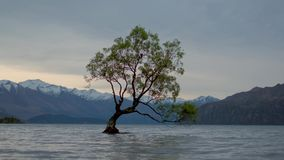 Quell'albero di Wanaka, wanaka, Nuova Zelanda 4k stock footage