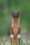 Quelle manière cette souris est-elle allée ? Photo stock