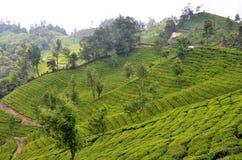 Quello con i giardini di tè Fotografia Stock Libera da Diritti