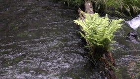 Quellwasser und Farn stock video