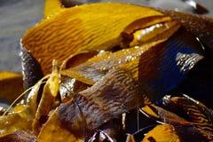 Quelpo amarillo de la alga marina fotografía de archivo