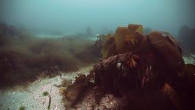 Quelpo gigante de la alga marina subacuático en la reflexión de la luz del sol del mar de Barents Rusia metrajes