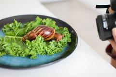 Quelqu'un prend des photos de grand escargot d'Achatina sur des feuilles de salade verte de plat bleu-foncé sur le foyer sélectif photos libres de droits