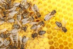 Quelques abeilles de danse Photos libres de droits