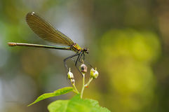 Quelques ailes de libellule Image stock