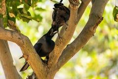 Quelques allocation des places de corneille sur la branche d'arbre et aimer ensemble en parc public Image libre de droits
