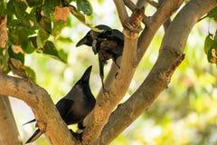 Quelques allocation des places de corneille sur la branche d'arbre et aimer ensemble en parc public Image stock
