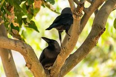 Quelques allocation des places de corneille sur la branche d'arbre et aimer ensemble en parc public Images stock