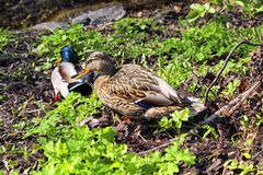 Quelques canards Image stock