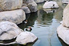 Quelques canards nageant dans le lac Photographie stock libre de droits