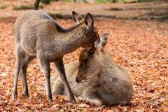 Quelques cerfs communs Image stock
