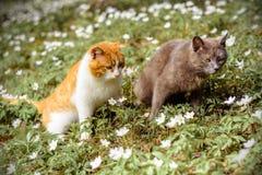 Quelques chats d'amants marchant le long du ressort font du jardinage dans des anémones de fleurs Photographie stock