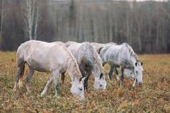 Quelques chevaux blancs Image libre de droits