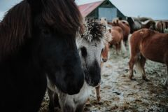 Quelques chevaux sur un champ en Islande photos libres de droits