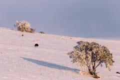 Quelques chiens au milieu de neige sur la montagne Ombrie, Italie de subasio, avec une petite usine couverte par la neige Image libre de droits