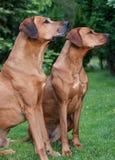 Quelques chiens drôles de Rhodesian Ridgeback, portrait Photos libres de droits